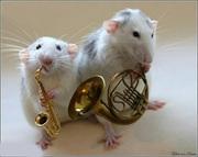 Обалденные Крысята разных пород:Рекс,  Дабл-Рекс, Сфинкс(лысые крыски)