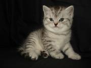 Британские и Вислоухие котята (полосатый ВИСКАС, голубой, лиловый, рыжий)