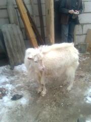 Продам зааненского козла на племя