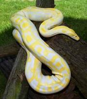 Питон Тигровый альбинос