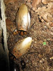 Кормовые насекомые(живые корма) Минск : зофобас,  мучной червь,  таракан,  сверчок