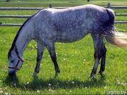Куплю лошадей жеребят живым весом