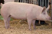 Продается домашняя свинина живым и убойным весом