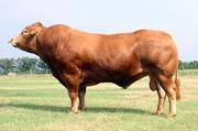 Куплю быков любых категорий живым весом.