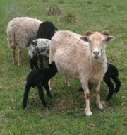 Овцы,  молодняк