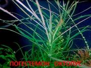 Погестемон октопус. НАБОРЫ растений для запуска акваса---------------
