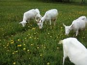 козу и двух козочек трёх мес.